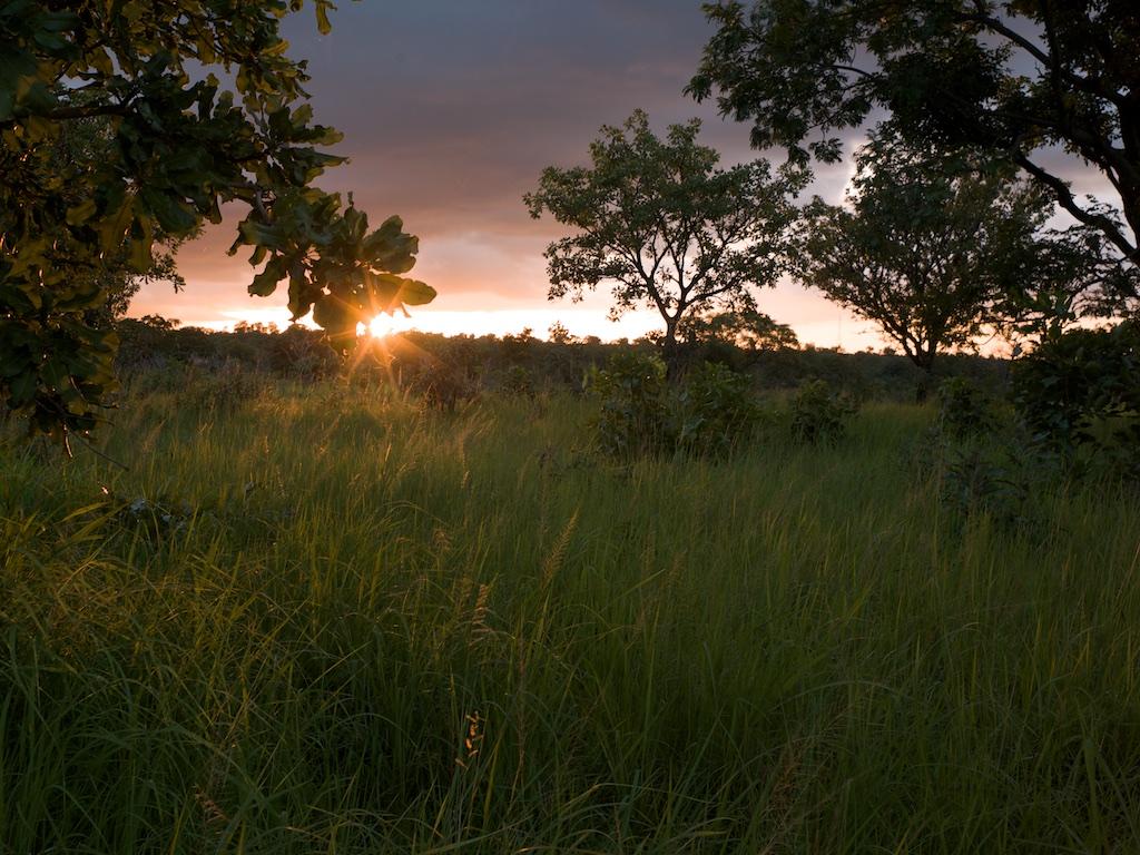 Arbres de Karité dans la savane au coucher du soleil.